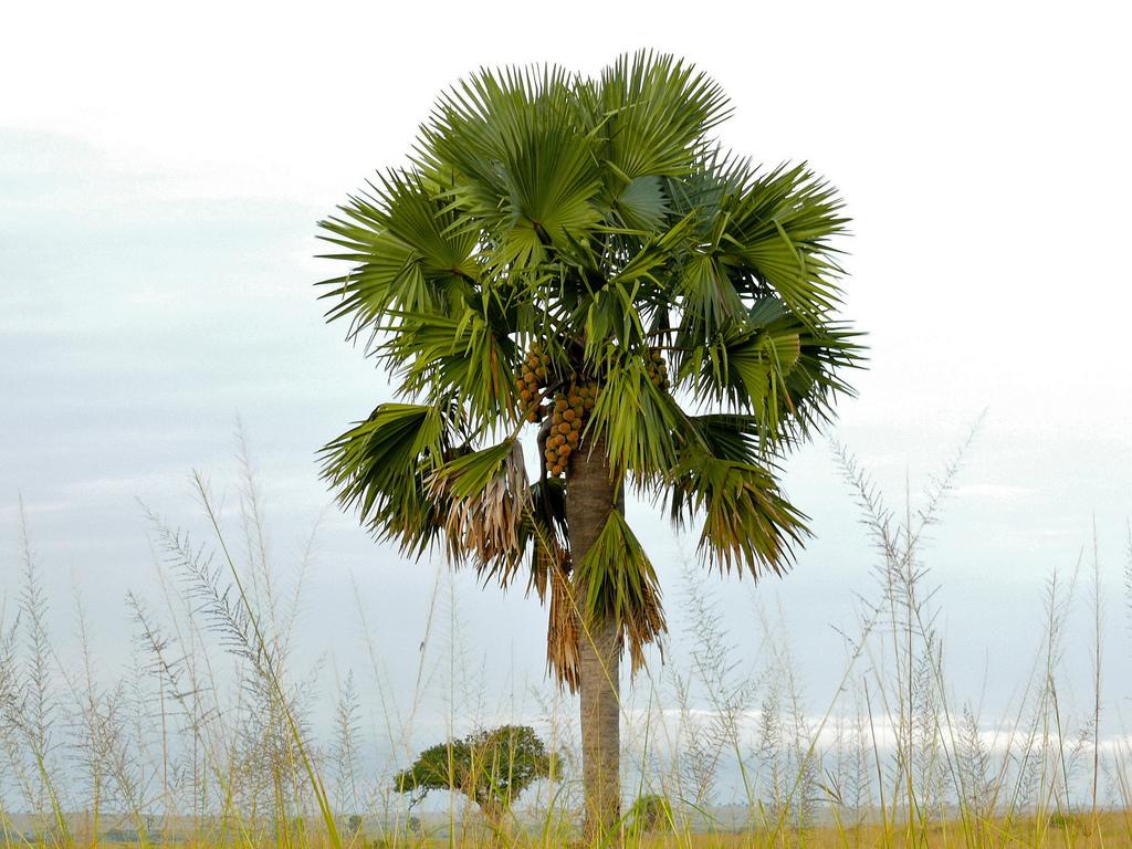 Photo of பனைமரத்தின் பாடல் /The Rhymes of Palm Tree